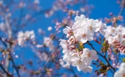 岡崎公園の桜(桜祭り)2018の開花状況と見頃時期!