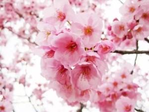 海津大崎の桜2018の開花予想や状況と見頃時期!