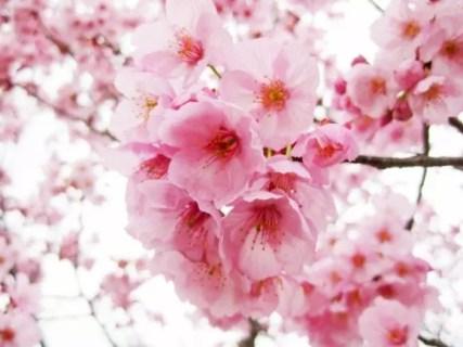 海津大崎の桜2019の開花予想や状況と見頃時期!