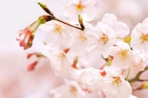 一心行の大桜2017の開花予想や見頃とライトアップ情報!