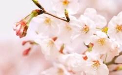 一心行の大桜2018の開花予想や見頃とライトアップ情報!
