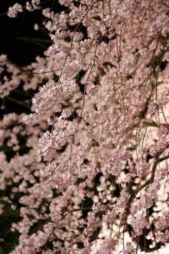 六義園の桜2018の見頃や開花状況とライトアップ!