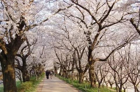 埼玉の桜・花見の名所や穴場おすすめ10選と開花情報2017!