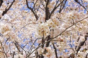 千秋公園の桜(桜祭り)2018の開花状況と見頃時期!