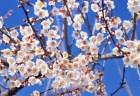 曽我梅林の梅まつり2018梅の見頃や開花状況は?