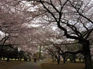 新宿御苑の桜2017の見頃や開花状況とアクセス方法!