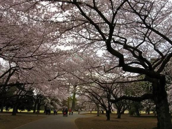 新宿御苑の桜2016の見頃や開花状況とアクセス方法!