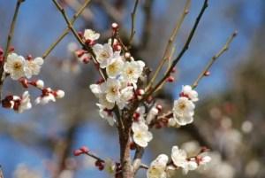 佐布里池梅林の梅まつり2017の見頃や開花状況は?