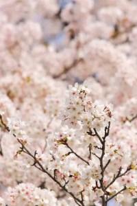 隅田公園の桜(桜祭り)2016の開花状況と見頃時期!