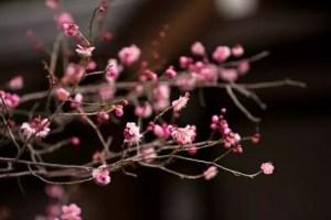 高尾梅郷梅まつり2017の見頃の時期や開花状況は?