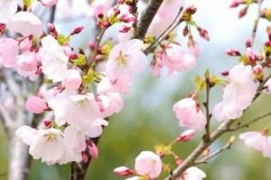 鶴ヶ城公園の桜(桜祭り)2018の開花状況と見頃時期!