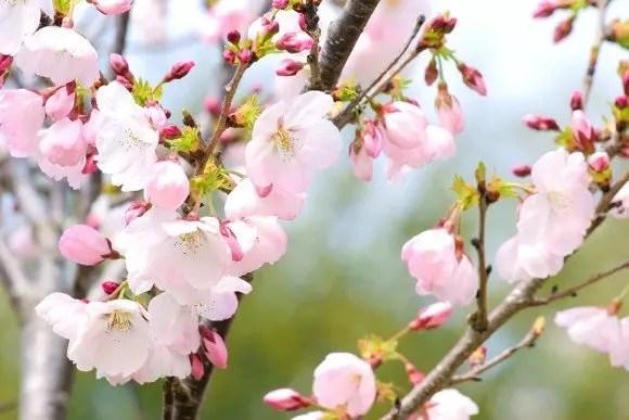 鶴ヶ城公園の桜(桜祭り)2019の開花状況と見頃時期!
