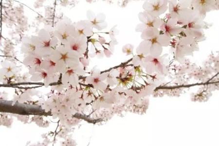 津山城鶴山公園の桜(桜祭り)2019の開花情報と見頃!