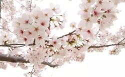 津山城鶴山公園の桜(桜祭り)2018の開花情報と見頃!