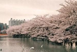 上野公園の桜2017の開花予想や見頃とアクセス方法!