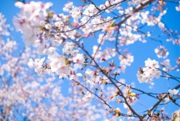 根尾谷淡墨桜2019の開花情報と見頃時期やライトアップ!