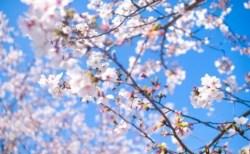 根尾谷淡墨桜2018の開花情報と見頃時期やライトアップ!