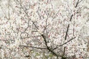 安八百梅園安八梅まつり2017梅の見頃や開花状況は?