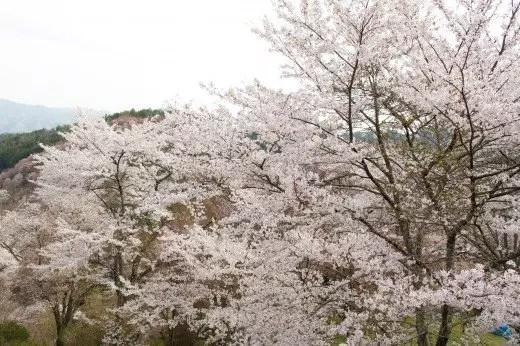 吉野山の桜2017の見頃の時期や開花予想とアクセス方法!