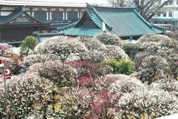 湯島天神の梅まつり2019の見頃の時期や開花状況は?