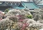 湯島天神の梅まつり2018の見頃の時期や開花状況は?