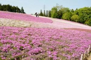 秩父羊山公園の芝桜2017の開花状況と見頃時期!