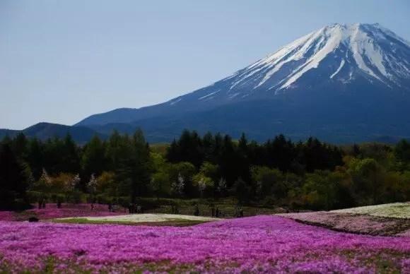 富士芝桜まつり2017の見頃や開花状況と駐車場は?