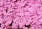 市貝町の芝桜2018の開花状況や見頃の時期!