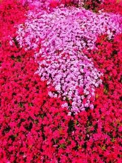 みさと芝桜公園芝桜まつり2019と開花情報や見頃!アクセスは?