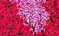 みさと芝桜公園芝桜まつり2018と開花情報や見頃!アクセスは?