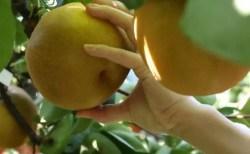 福島の梨狩りの時期とおすすめ人気スポット!