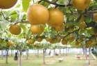 関西の梨狩りおすすめ人気スポット!美味しい時期は?