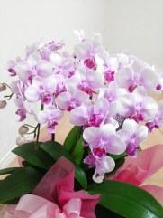 母の日人気の花の種類胡蝶蘭