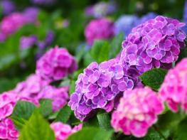 母の日人気の花の種類アジサイ