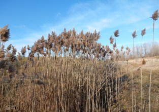 Dec. 26, 2014. Phragmites in a ditch at the south end of the transfer sation. This was mowed this summer, but it was difficult because is is a rocky ditch. The plants have regrown and some have gone to seed.