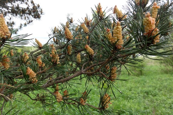 Scots pine, May 2012