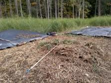 Raked pile of Phragmites litter