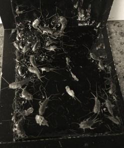 Skjeggkre fanget i sort limfelle