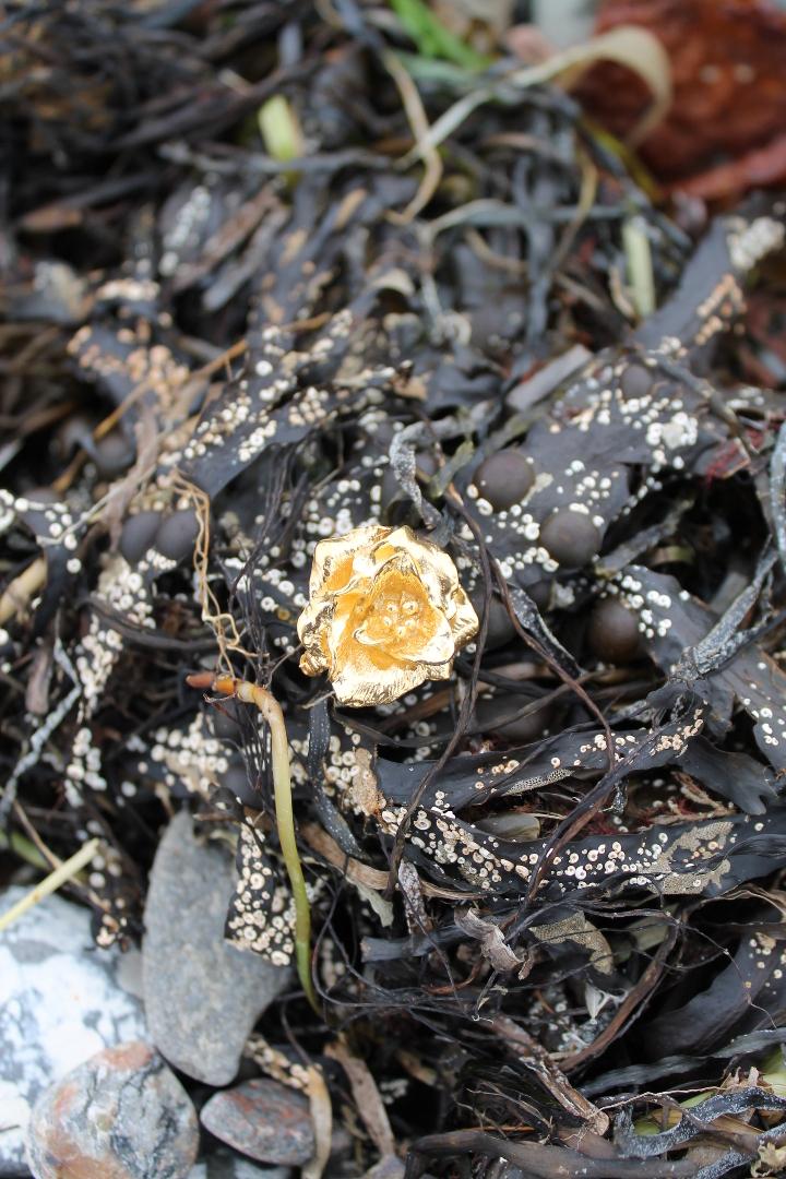 Forgyldt Skagenrose i tang på stranden