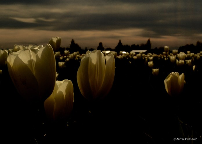 Skagit County Tulip Town Cloudy