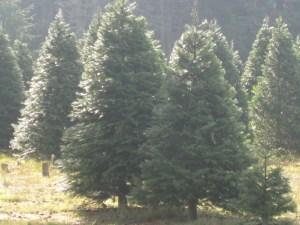 Christmas trees Skagit County