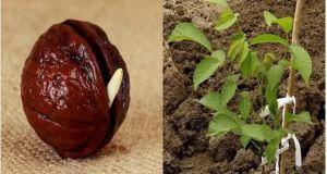 Вижте колко лесно може да си засадите орех от ядка - сега е времето!