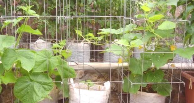 Това са 4 супер начина за отглеждане на краставици! Ще получите 10 пъти по-голяма реколта