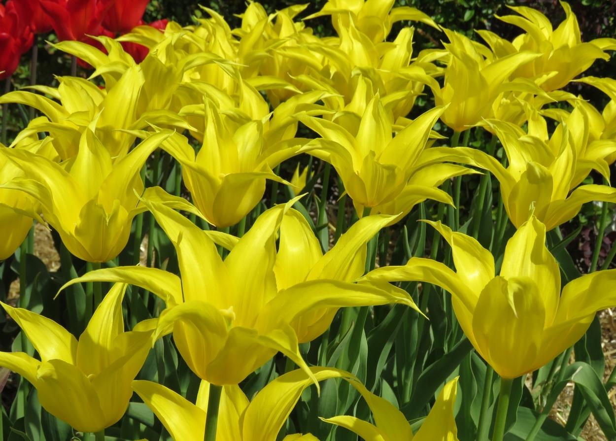 Tulpaner i Slottsträdgården (Tulipa 'West Point'). Foto: Dan Abelin.