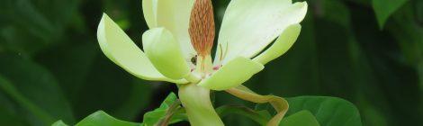 Junimagnolia (Magnolia obovata). Foto: Dan Abelin.