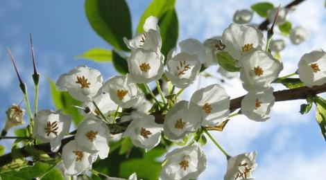 Snödroppsträd (Halesia carolina). Foto: Dan Abelin.
