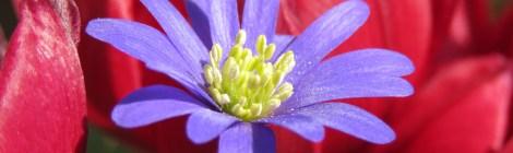 Balkansippa (Anemone blanda). Foto: Dan Abelin.