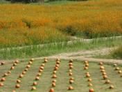 Pumpkins and orange flower fields