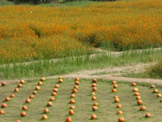 Pumpkins and orange flower fields