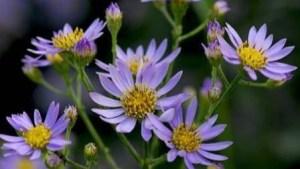 紫苑拡大図